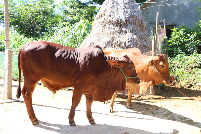 Hướng dẫn ủ chua rơm cho trâu bò
