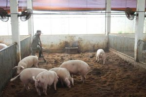 chăn nuôi lợn sạch