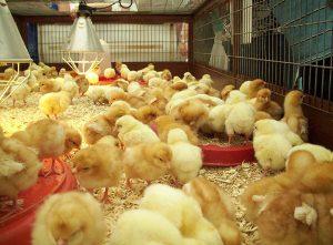 lắp máng ăn cho gà