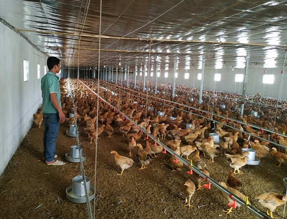 trang trại nuôi gà sạch