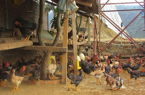 xây chuồng gà