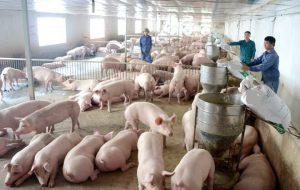cho lợn ăn