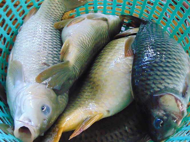 nuôi cá chép giòn làm giàu