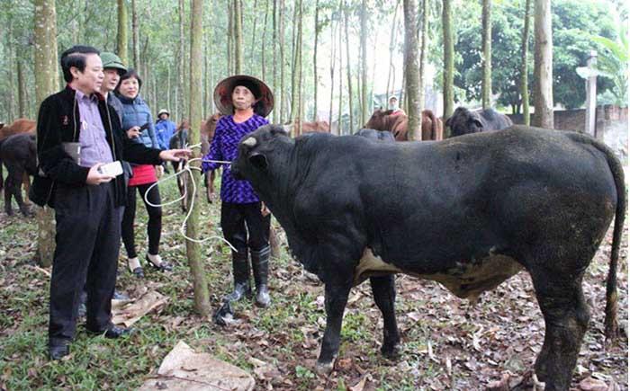 làm giàu từ nuôi bò