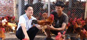 nuôi gà thịt